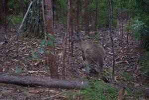 Friendly Locals at Fernhook Falls Campground - Western Grey Kangaroo