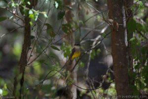 Western Yellow Robin at Barrabup Pool