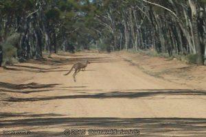 Kangaroo on the way to Emu Rocks