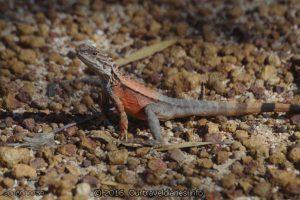 Crested Dragon, McDermid Rock