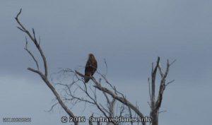 Brown Falcon near the old Balladonia Telegraph Station.
