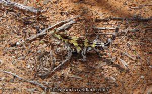 Thorny Devil, Googs Track, South Australia