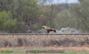 Wedgetail Eagle on the Trans Australian Railway near Tarcoola