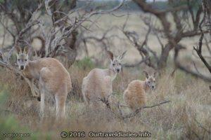 A mob of Kangaroos, Gawler Ranges NP