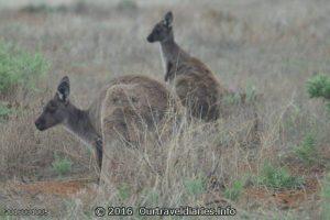 Kangaroos, Gawler Ranges NP