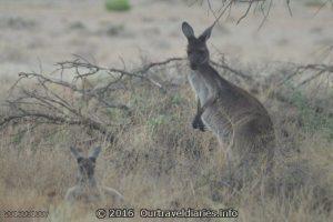 Mum and Joey Kangaroos, Gawler Ranges NP