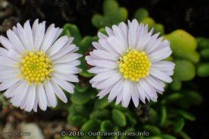 Flowers near the cliffs edge, Nullabor National Park, SA