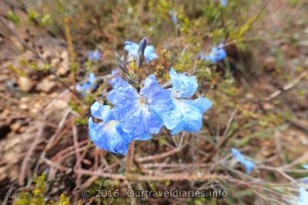 Blue Lechenaultia, Darling Range, WA