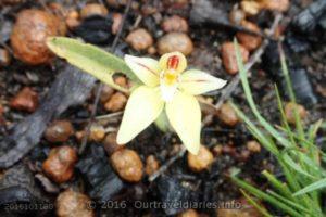 Cowslip Orchid, Darling Range, WA