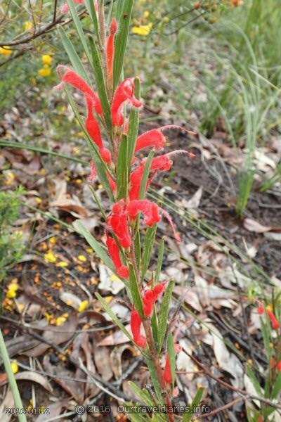 Hairy Jug Flower, Darling Range, WA
