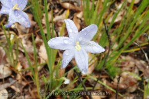 Morning Iris, Darling Range, WA