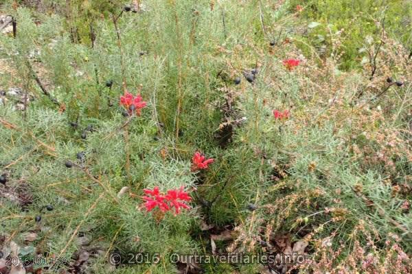 Native Fushia, Darling Range, WA