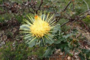 Urchin Dryandra, Darling Range, WA