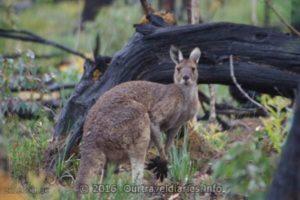 Western Grey Kangaroo, Darling Range, WA