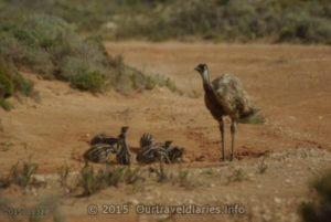 Dad Emu looking after his chicks, Eucla, WA.
