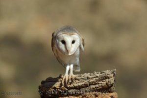 Australian Barn Owl - Alice Springs Desert Park