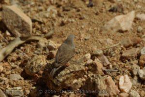Small bird - Alice Springs Desert Park